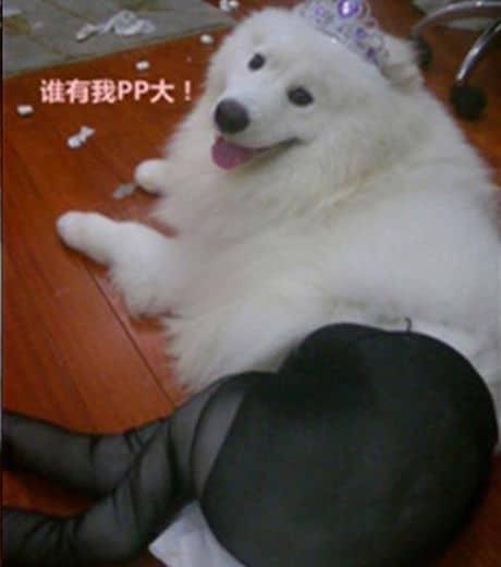 ce-chien-a-pose-face-a-l-objectif-en-portant-des-bas-en-nylon_121739_w460