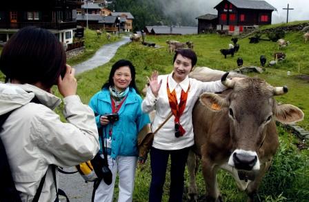 switz cows