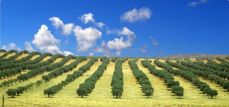 olive oil spain